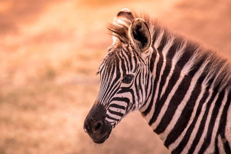 Jonge babyzebra met patroon van zwart-witte strepen Het wildsc?ne van aard in savanne, Afrika Safari in nationaal Park stock afbeelding