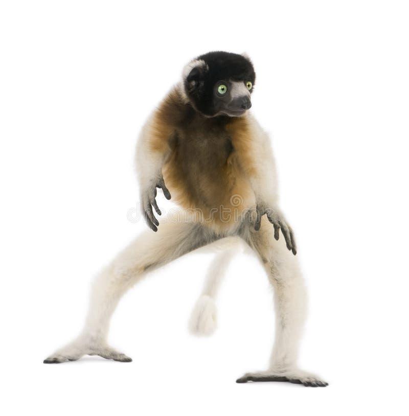 Download Jonge Bekroonde Sifaka, Propithecus Coronatus Stock Afbeelding - Afbeelding bestaande uit dancing, niemand: 10781335