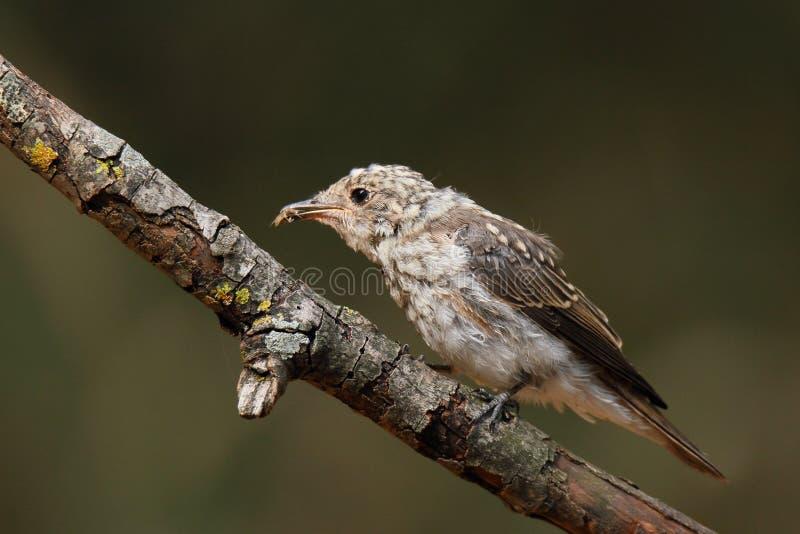 Jonge bevlekte vliegenvanger (Muscicapa-striata) met worm stock afbeeldingen