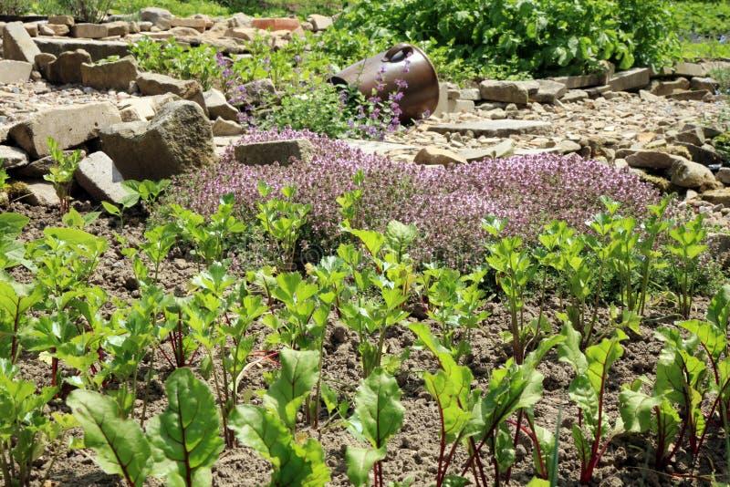 Jonge bieten, selderie en thyme in de tuin van het land stock fotografie