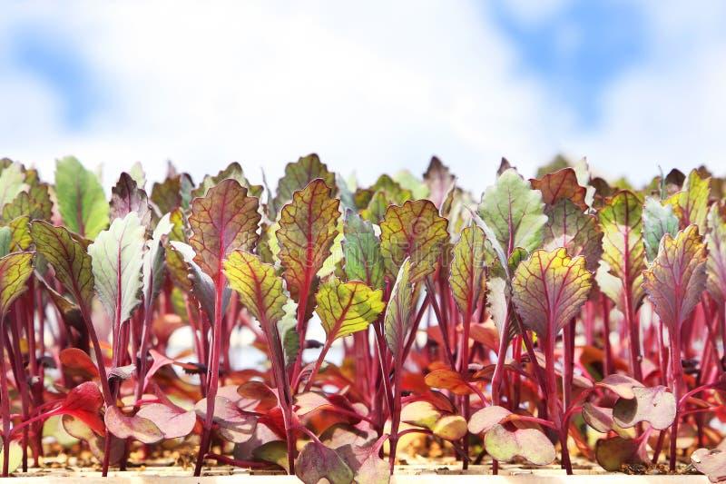 Jonge bietenbladeren voor babysalade royalty-vrije stock afbeeldingen