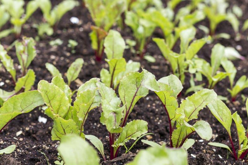 Jonge bietenspruiten Bieten die in de tuinspruiten groeien stock afbeeldingen