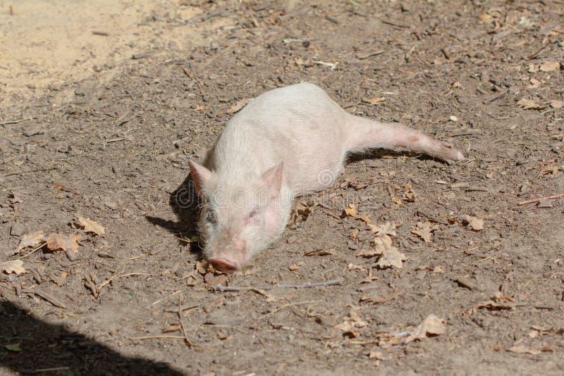 Jonge binnenlands van het landbouwbedrijf dierlijke biggetje, leuk varken royalty-vrije stock foto's