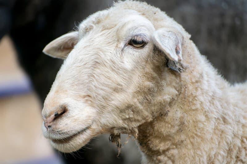 Jonge binnenlandse ram of schapen in een pen bij de dierentuin of het landbouwbedrijf, lentetijden royalty-vrije stock afbeeldingen