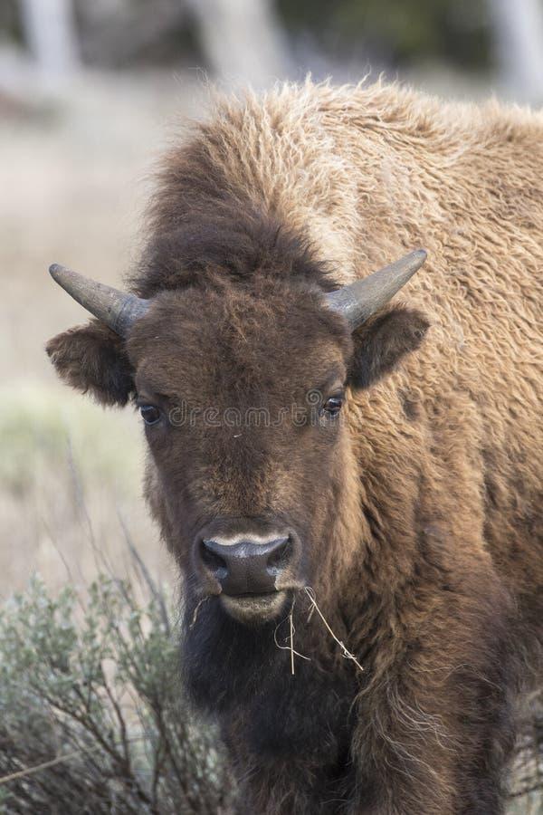 Jonge bizon die gras, portret eten stock afbeeldingen