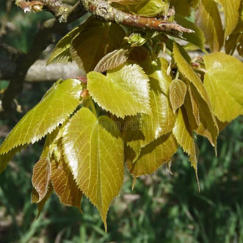Jonge bladeren van de beuk in de lente, Fagus-sylvatica stock foto