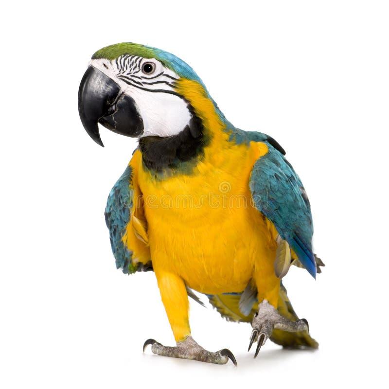 Jonge blauw-en-Gele Ara royalty-vrije stock afbeelding