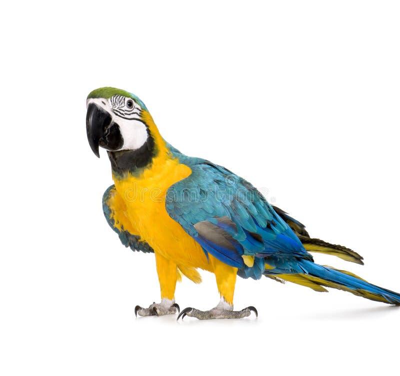 Jonge blauw-en-Gele Ara - ararauna van Aronskelken (8 maanden) stock foto