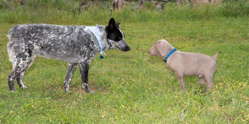 Jonge Blauwe Heeler en een Weimaraner-puppy die op de hoogte brengen worden royalty-vrije stock afbeelding