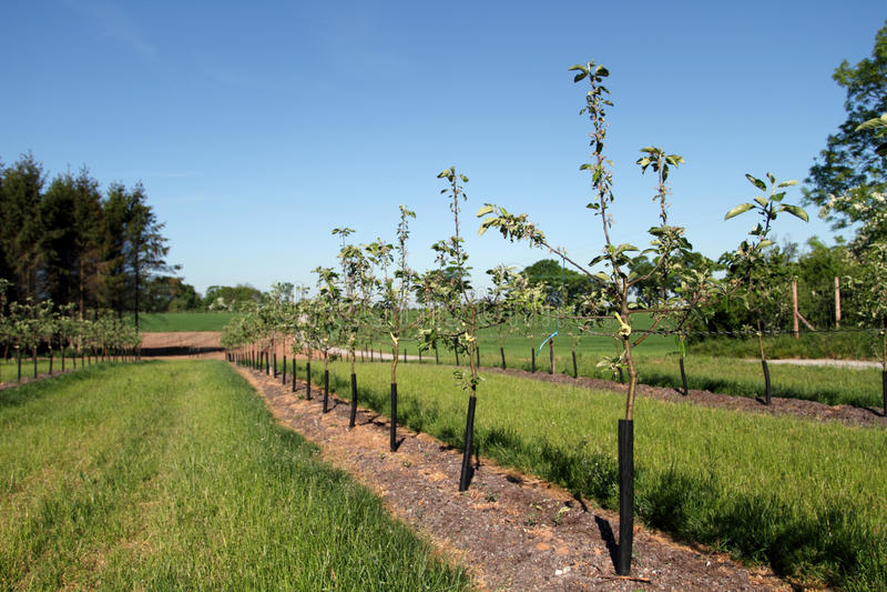 Jonge bomen in de boomgaard van de ciderappel stock afbeelding