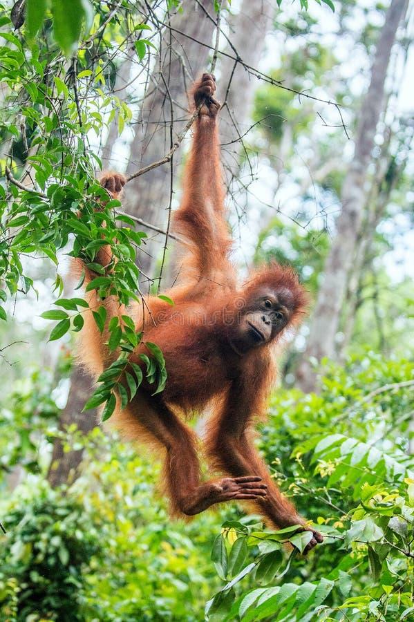 Jonge Bornean-Orangoetan op de boom in een natuurlijke habitat royalty-vrije stock foto's