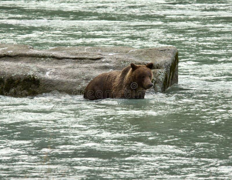 Jonge Bruin Van Alaska draagt zwemmend en vissend in de Chilkoot-Rivier stock afbeeldingen