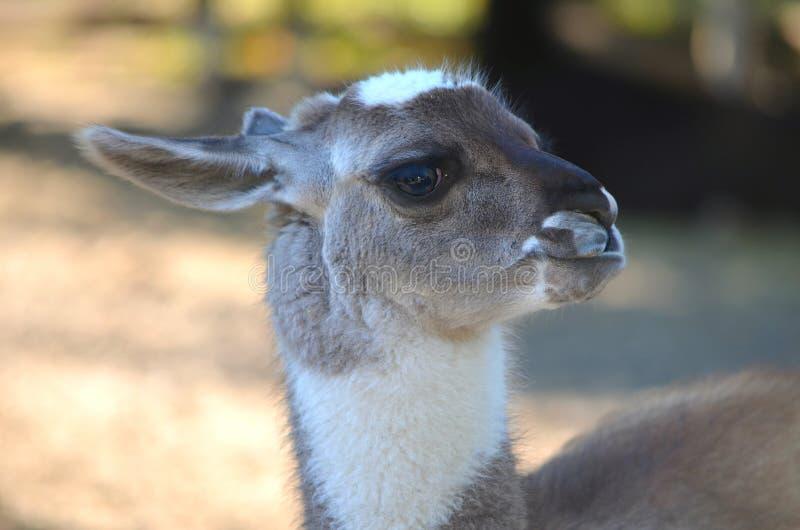 Jonge Bruine lama portret stock foto