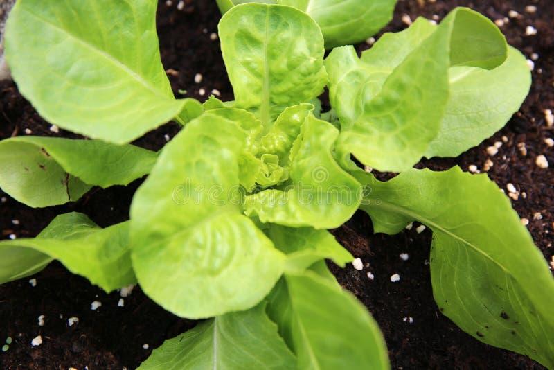 Download Jonge Butterhead-Slainstallatie Stock Foto - Afbeelding bestaande uit beeld, growth: 54079062