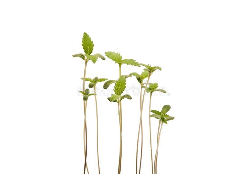 Jonge Cannabisspruiten royalty-vrije stock afbeeldingen