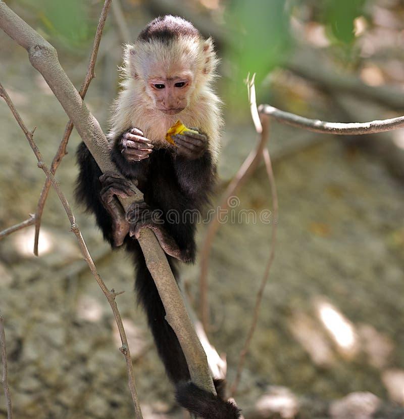 Jonge capuchin aap in de wildernis. stock foto's