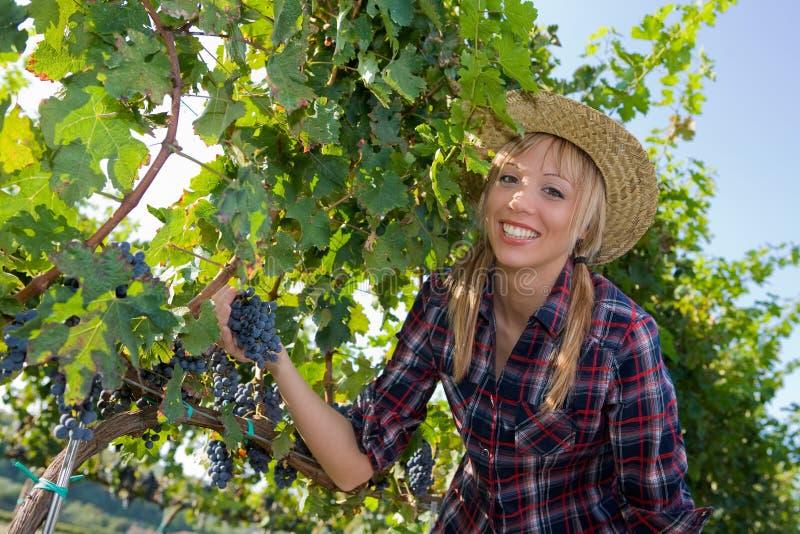 Jonge de druivenoogst van de boervrouw onder vineya stock afbeeldingen