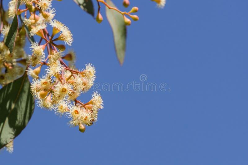 Jonge de Eucalyptusdiversifolia van Zeepmallee bloeit op een blauwe hemelachtergrond, Californië royalty-vrije stock afbeelding