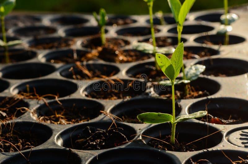 Jonge de installatieszaailing van het babykruid op zwart het planten dienblad stock afbeeldingen