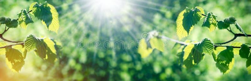 Jonge de lentebladeren op tak in de lente - de aard begint te ontwaken royalty-vrije stock foto