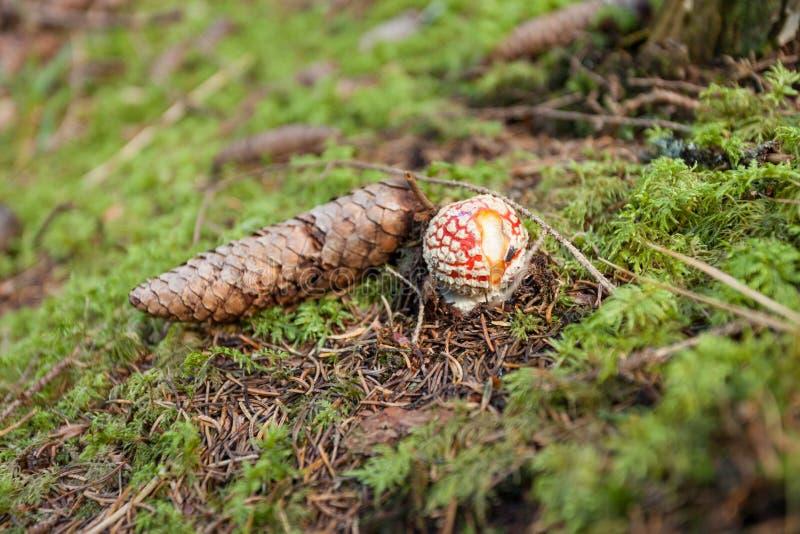 Jonge die Amaniet Muscaria binnen een bos in Dolomiet het is gegroeid stock afbeelding
