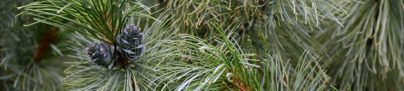 Jonge die cederkegels in het hout, kegel met hars in de boskegels wordt behandeld die op een tak van Cedar Tree, Cedrus groeien stock foto
