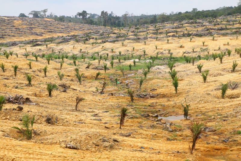 Jonge die oliepalmen op ontruimd land worden geplant - Reeks 4 stock afbeelding