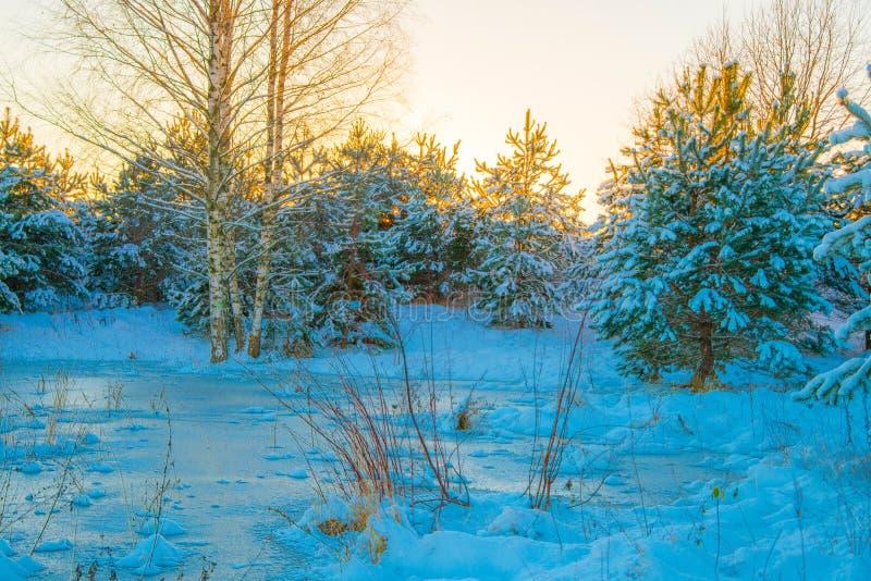 Jonge die sparren met sneeuw worden behandeld royalty-vrije stock fotografie