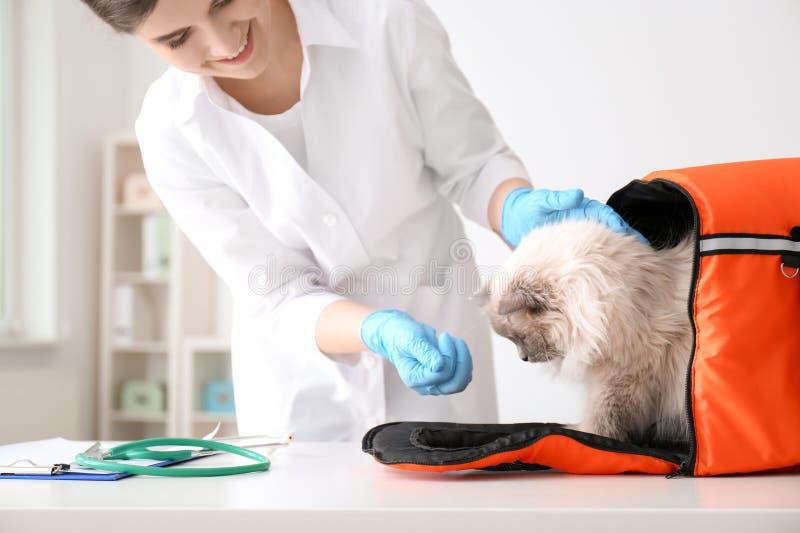 Jonge dierenarts met kat stock afbeelding