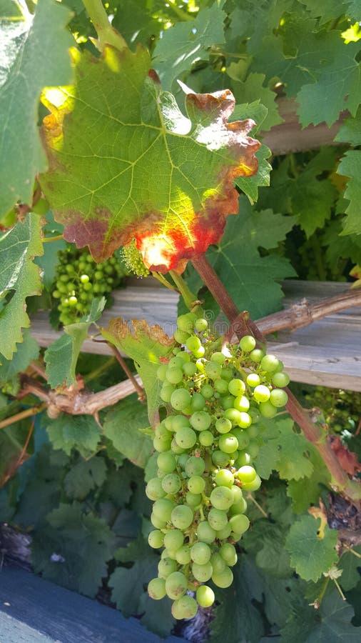 Jonge druiven stock afbeelding