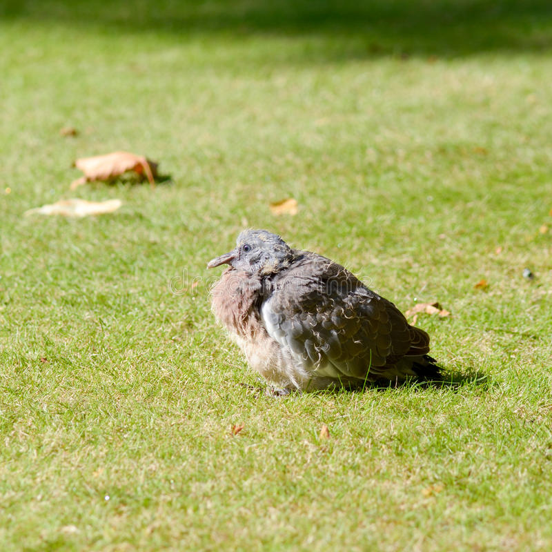 Jonge duif (Columbidae) zitting op gras in park stock foto
