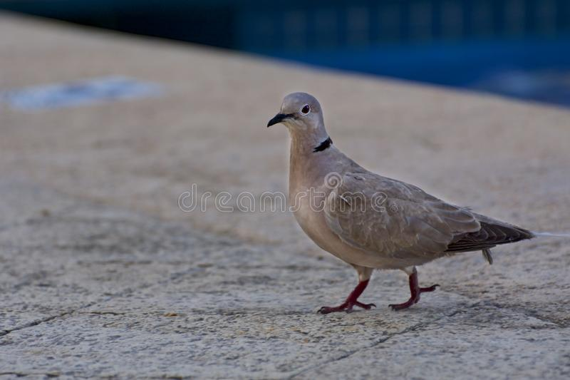 Jonge duif die op de vloer lopen stock foto's