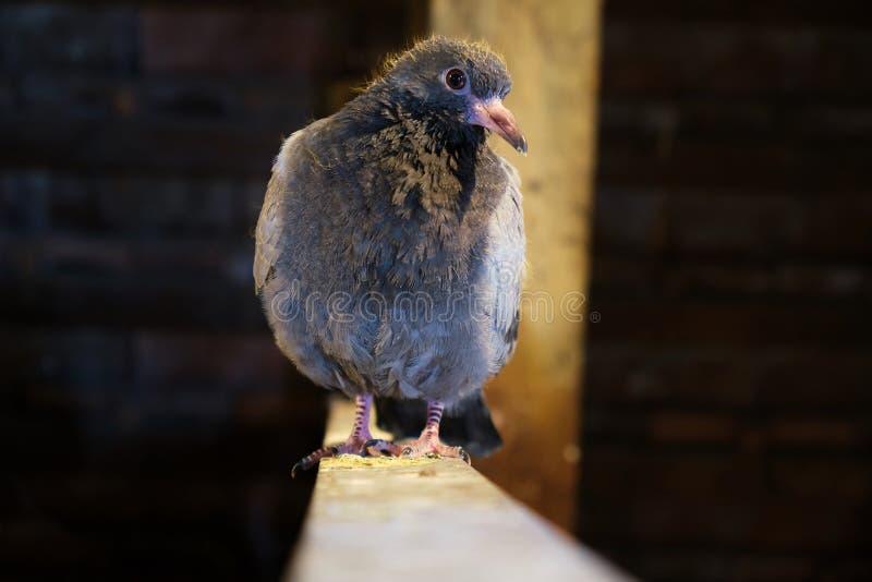 Jonge duif op een houten richel, binnen, het beschutte, dicht omhoog nieuwsgierig bekijken de camera royalty-vrije stock afbeeldingen