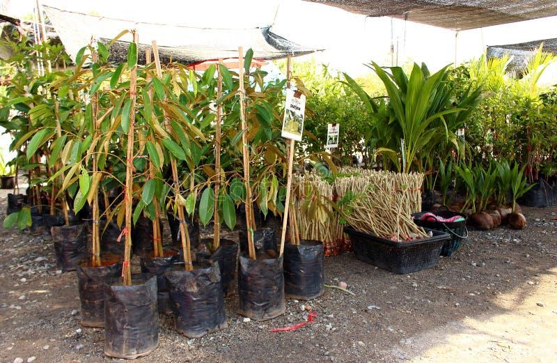 Jonge durian bomen op markt royalty-vrije stock afbeeldingen