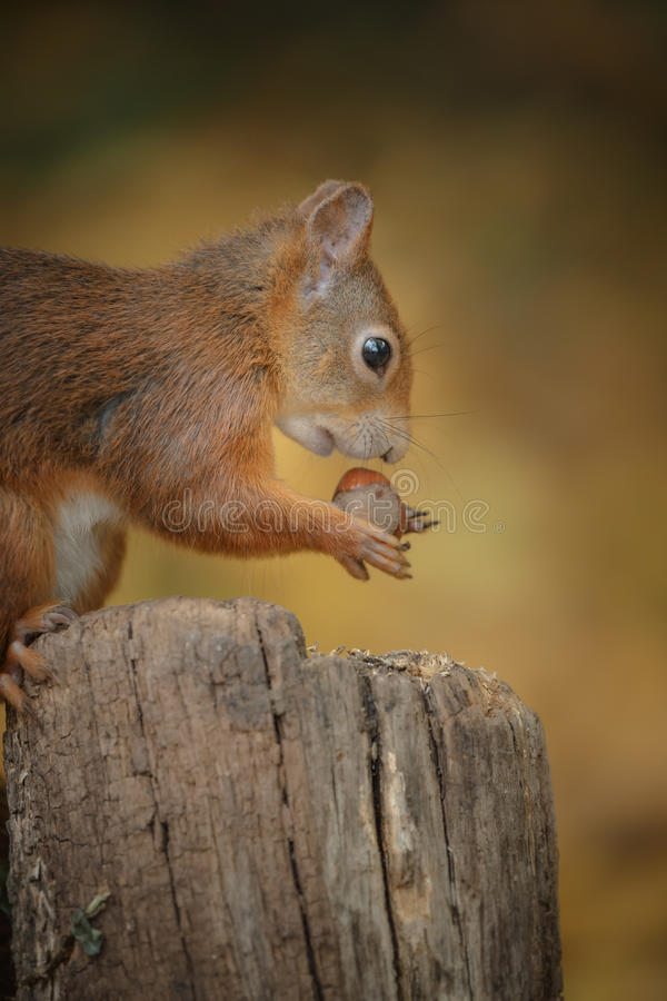 Jonge eekhoorn royalty-vrije stock foto's