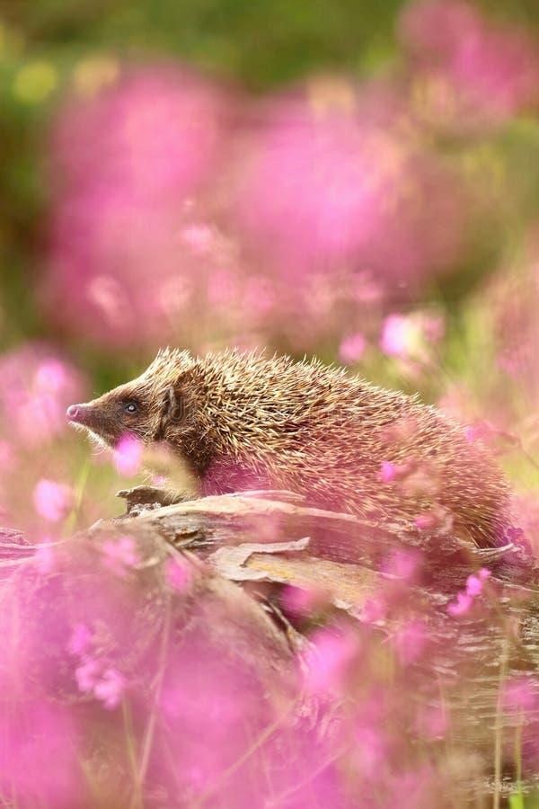 Jonge egel in bloemen royalty-vrije stock fotografie