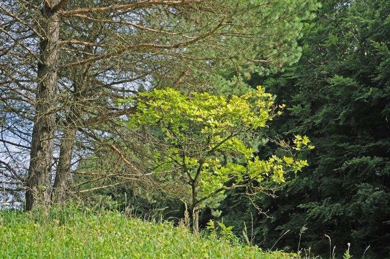Jonge eiken boom onder pijnbomen stock fotografie