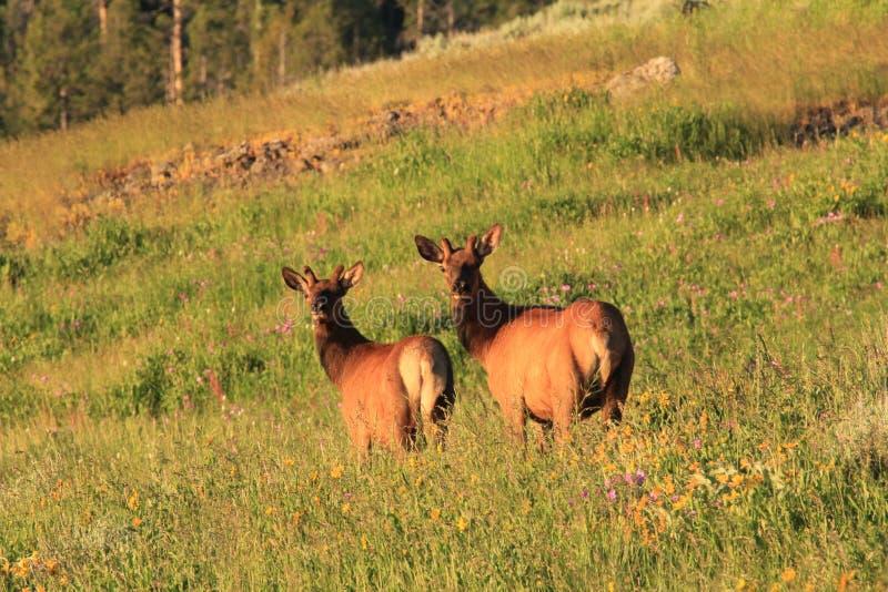 Jonge elanden royalty-vrije stock fotografie