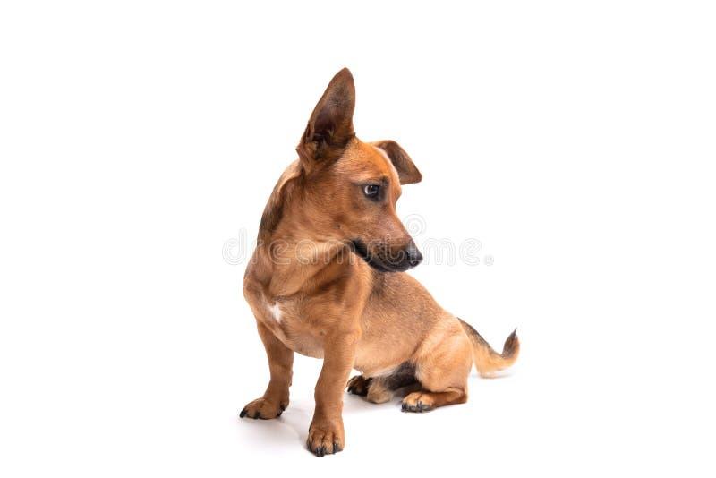 Jonge en kleine bruine die hond op een witte achtergrond wordt geïsoleerd stock afbeeldingen