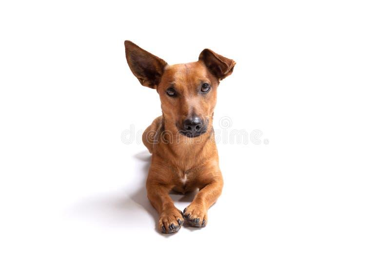 Jonge en kleine bruine die hond op een witte achtergrond wordt ge?soleerd royalty-vrije stock foto