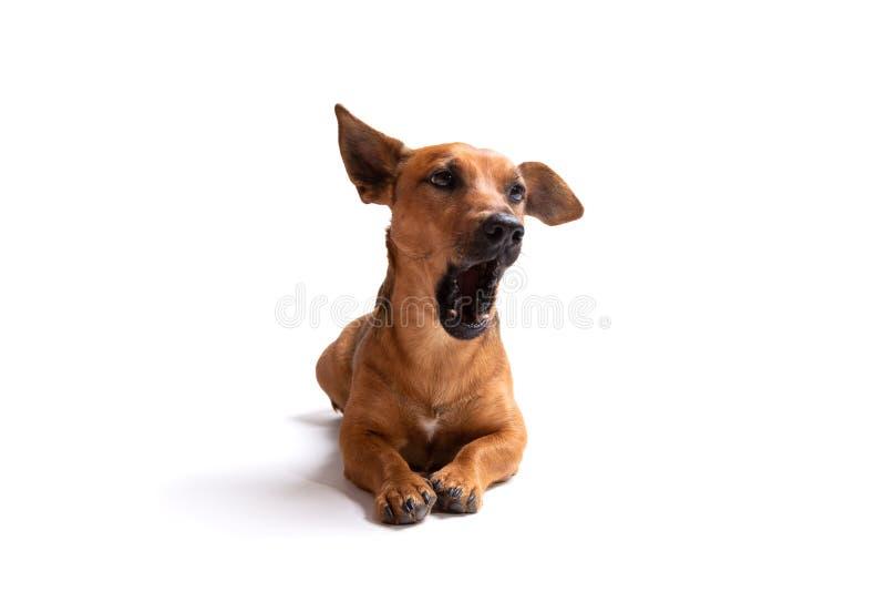 Jonge en kleine bruine die hond op een witte achtergrond wordt ge?soleerd royalty-vrije stock foto's