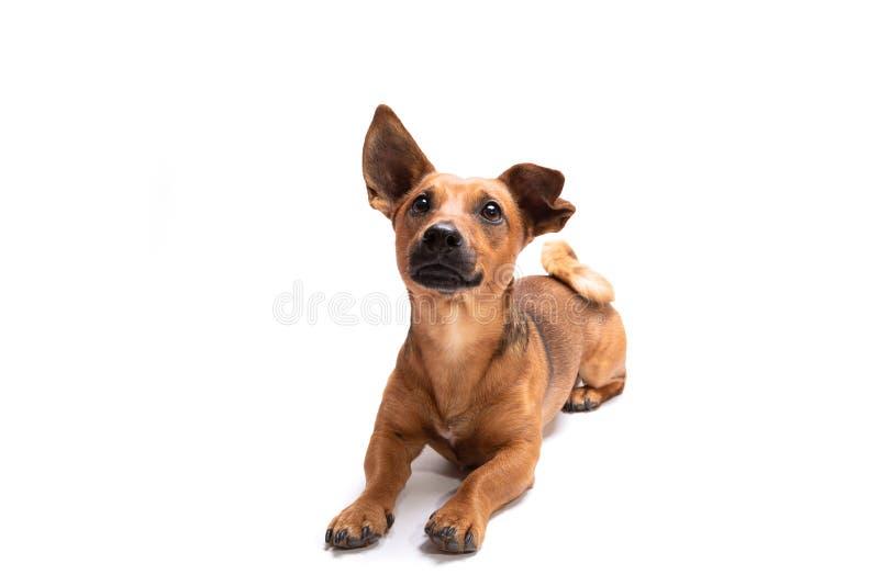 Jonge en kleine bruine die hond op een witte achtergrond wordt ge?soleerd stock afbeeldingen