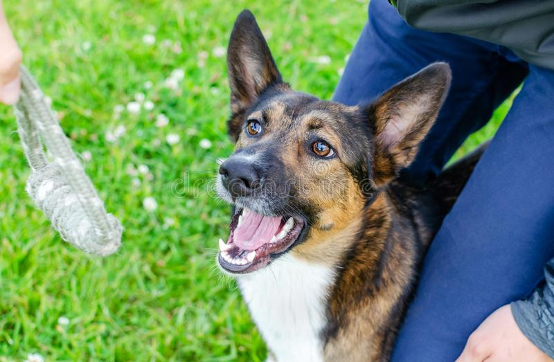 Jonge, energetische, halfbroederige hond kijkt. Doggy speelt met zijn eigenaar, traint honden stock fotografie