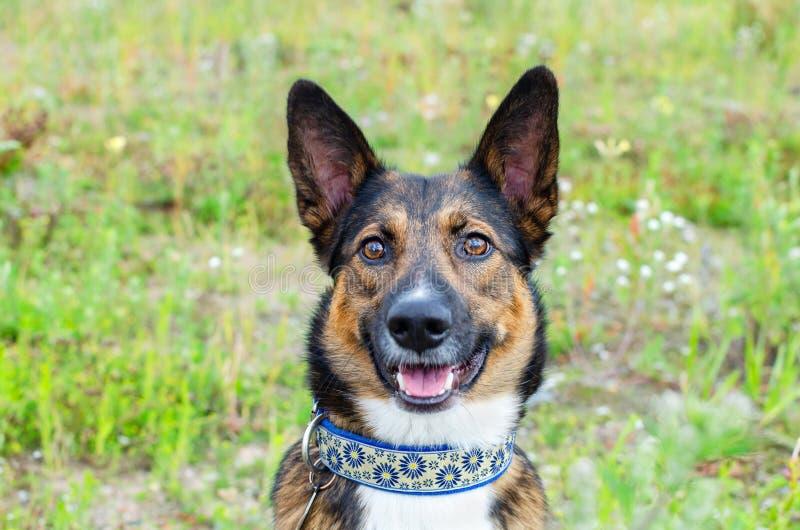 Jonge, energetische, halfbroederige hond kijkt. Doggy speelt met zijn eigenaar, traint honden royalty-vrije stock afbeeldingen