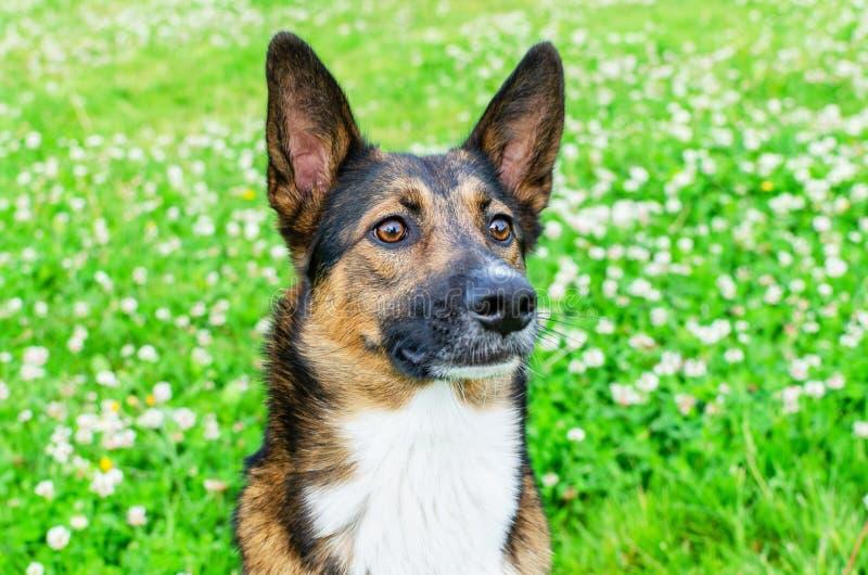 Jonge, energetische, halfbroederige hond kijkt. Doggy speelt met zijn eigenaar, traint honden royalty-vrije stock foto