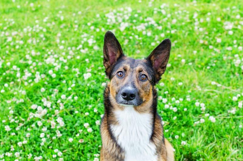 Jonge, energetische, halfbroederige hond kijkt. Doggy speelt met zijn eigenaar, traint honden royalty-vrije stock afbeelding