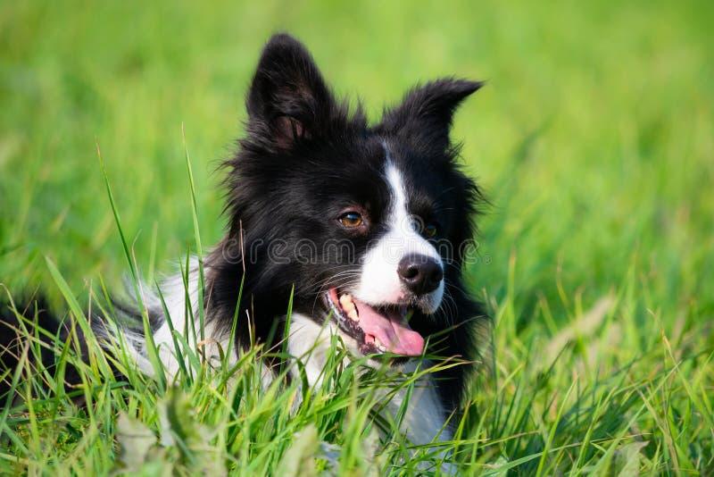 Jonge energieke hond op een gang Border collie royalty-vrije stock afbeelding