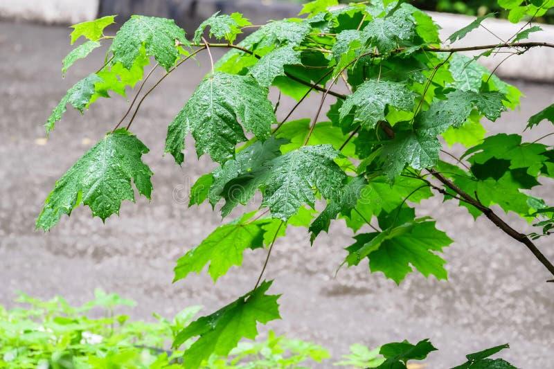 Jonge esdoorntak, na een lange de zomerregen stock fotografie