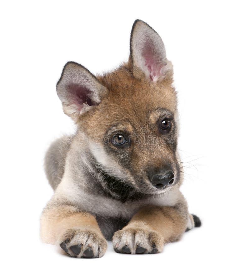 Jonge Europese wolf - Canis wolfszweerwolfszweer royalty-vrije stock afbeelding