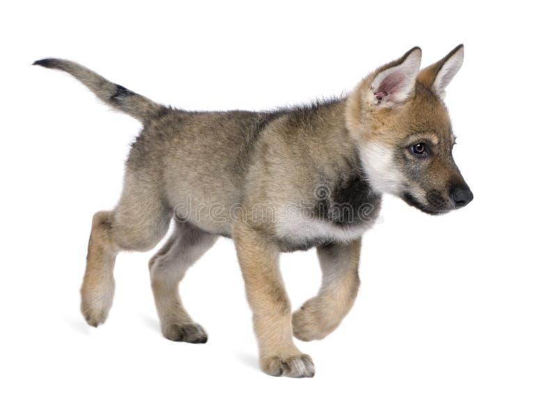 Jonge Europese wolf - Canis wolfszweerwolfszweer stock afbeeldingen
